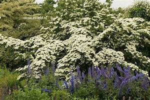 Cornus Kousa Schmetterling : picture and description of cornus kousa 39 schmetterling 39 ~ Michelbontemps.com Haus und Dekorationen