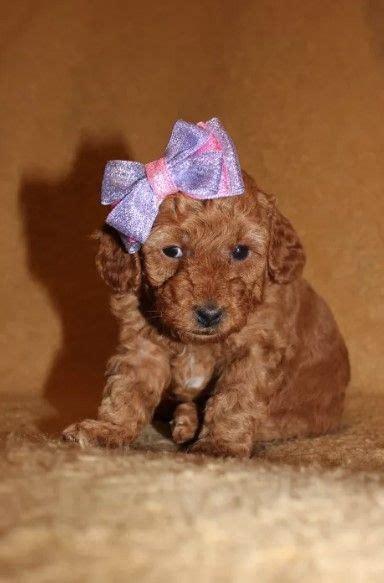 72 Female Poodle Dog Names Dog Names Poodle Dog Poodle