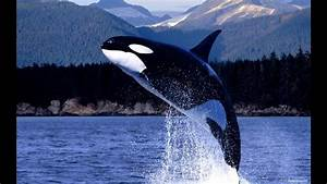 Orcas   Spekkhoggere   In Midsund Norway