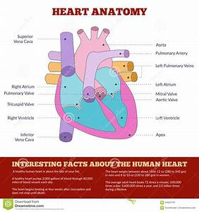 Diagram Of Human Heart Anatomy Stock Vector