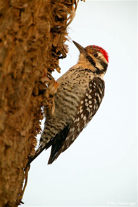 ladder backed woodpecker photos california stock photos