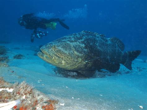 grouper goliath florida fish usa lose protection alabama catch texas possession prohibited waters mississippi harvest federal both state today padi