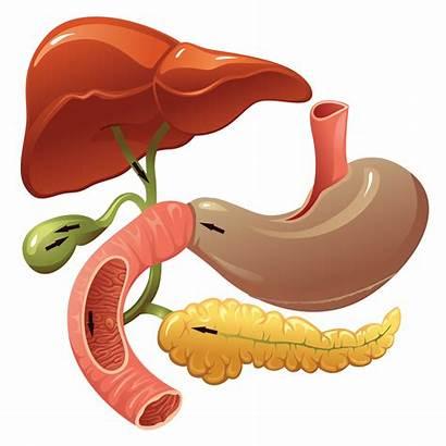 Digestive Organs Human System Enzymes Types Internal
