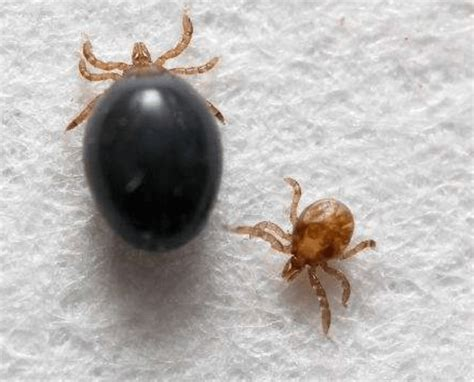 Genetically Modified Ticks Could Fight Lyme Disease