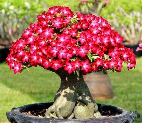 adenium bunga mawar gurun pasir belajar blogspot