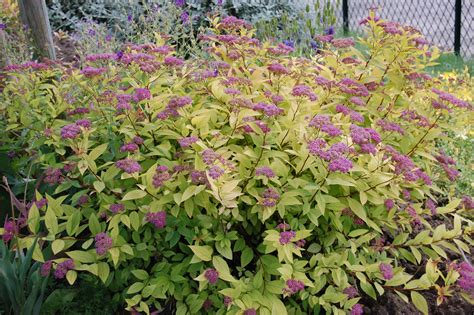 spirea shrub pictures spiraea japonica goldflame landscape architect s pages