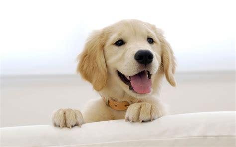 Funny Wallpapershd Wallpapers Golden Retriever Puppies