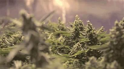 Weed Cannabis Nova Pure Scotia Legal Farm