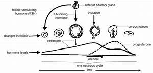 Anatomy And Physiology Of Animals  Reproductive System