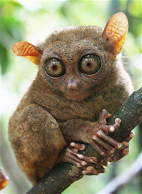 canadian  abu dhabi uae tarsier  tiny monkey
