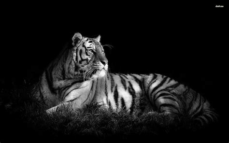 Tiger Animal Wallpaper - tiger in black white pc wallpaper black and white