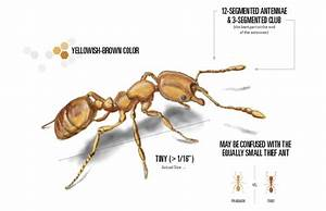 Pharaoh Ants Control - How to Get Rid of Pharoah Ants