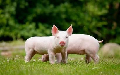 Pig Wallpapers Pigs Domestic Animals Farm Desktop