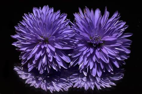 photo aster flower purple  image  pixabay