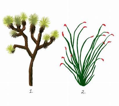 Desert Plants California Guide Tree Joshua Plant