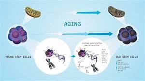 Factors Affecting Aging Of Stem Cells U2014shortening Of