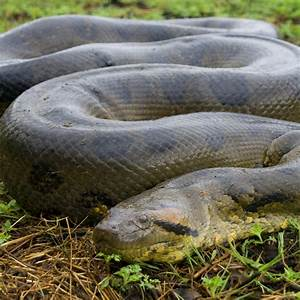 Green Anaconda | National Geographic