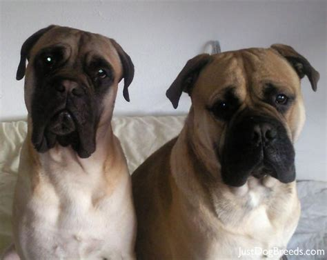 bullmastiff shedding a lot foods and breeds