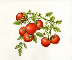 Fruits & Vegetables Gallery Full — Botanical Artist ...