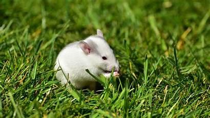Hamster Mice Wallpapers Mountains Animals Desktop