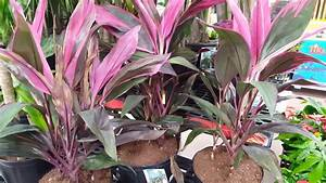 Care Tips For The Cordyline Plant