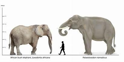 Elephant Human African Palaeoloxodon Namadicus Bush Mammals