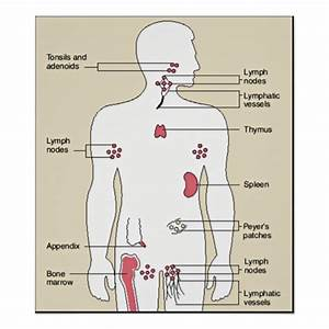 Immune System Diagram Poster
