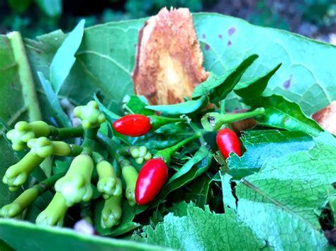 Zanzibar Spice Plantation  Plant Lust