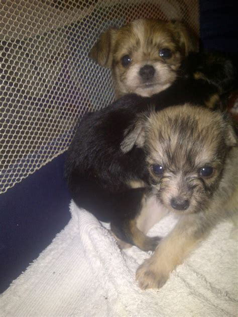 cute dogs teacup chihuahuas