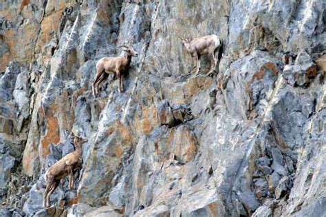 13 Pictures of Crazy Goats on Cliffs