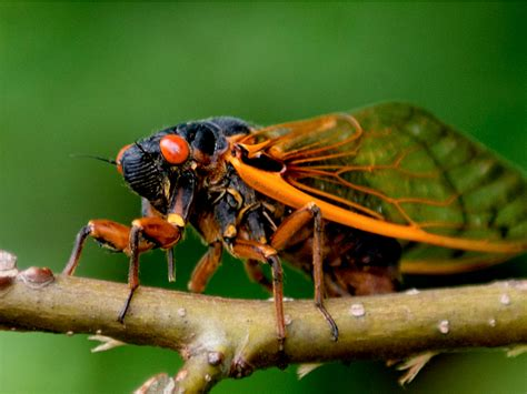 billions of noisy bugs are about to take the east coast by