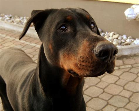 do miniature doberman pinschers shed medium low shedding breeds allergies breeds picture