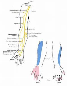 Median Nerve Distribution