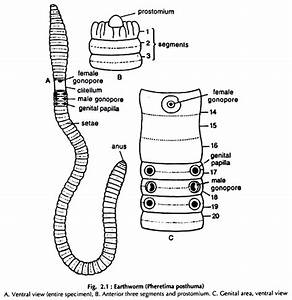 Dissection Of Earthworm  With Diagram