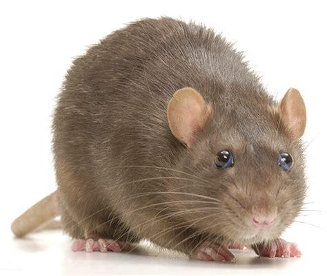 pacific region rodents pt  northwest rats