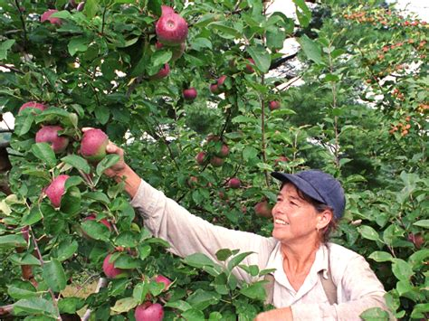 where to go for apple picking apple picking 171 cbs baltimore