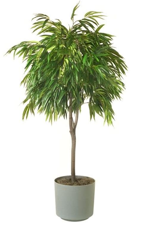 Low Light Indoor Trees by 36 Best Showroom Plants Images On Green Plants