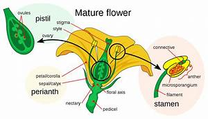 File Mature Flower Diagram Svg