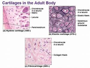 Three Types Of Cartilage Hyaline Elastic And