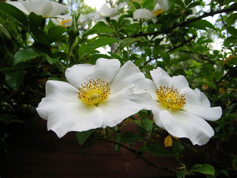 georgia state flower  cherokee rose pictures