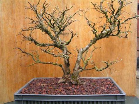 noisetier tortueux en pot bonsa 239 cr 233 ation fiche d entretien du noisetier corylus avellana
