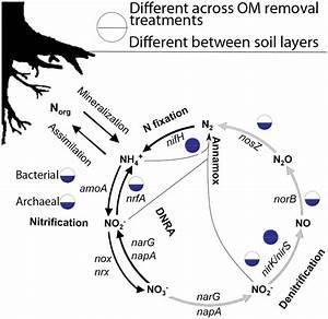 Model Of Nitrogen Cycle In Forest Soils  Dnra