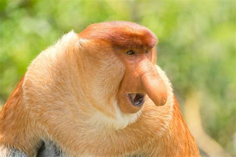 cat trees for large cats proboscis monkey facts history useful information and