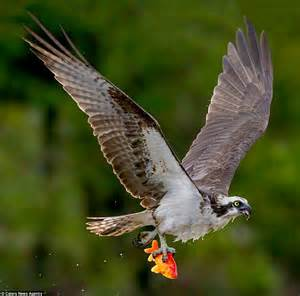 Photos show Osprey swooping in to snatch goldfish from ...