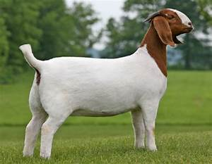 Boer Goat Clip Art - Clipartion.com