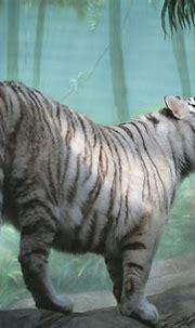 White Tiger in Misty Forest 4k Ultra HD Wallpaper ...