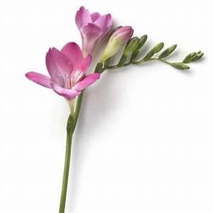 Freesia Pink Passion Single   Wholesale Flowers & Florist ...