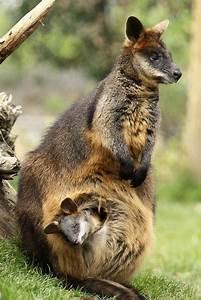 49 best Colorful Marsupials images on Pinterest | Kangaroo ...