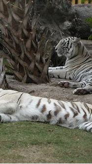 One white tiger sleeping and one on guard | Explore ...