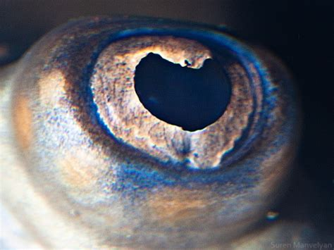 animal eyes suren manvelyan photography